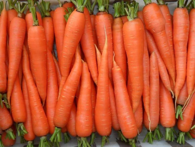 Сорта моркови для выращивания в открытом грунте с фото и описанием