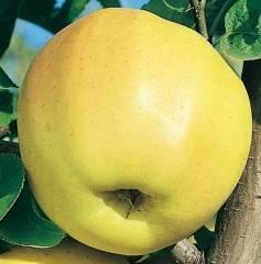 Яблоня голден делишес — прихотливая американка с отличным урожаем