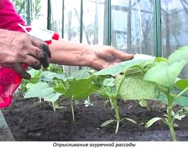 Применение удобрения атлет для рассады томатов