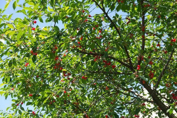 Описание универсального вишневого сорта призвание