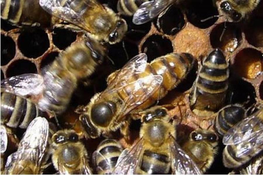 Особенности появления в пчелиной семье трутовки
