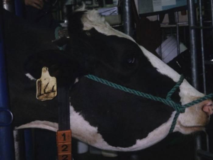 Бабезиоз крупного рогатого скота