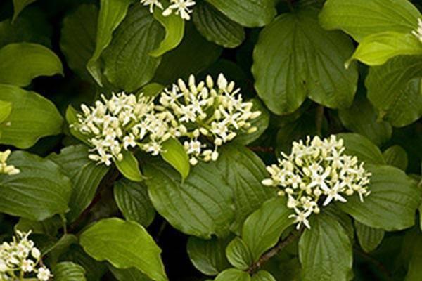 Дёрен белый: особенности посадки и размножения черенками, уход за растением