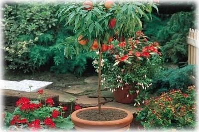 Как вырастить персик из косточки — посадка и уход в домашних условиях и открытом грунте