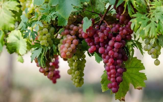 Посадка винограда осенью как альтернатива весне: в чём выгода?