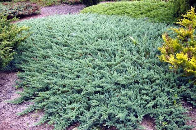 Можжевельник китайский блю альпс (juniperus chinensis  blue alps)