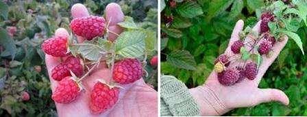 Малина ремонтантная или как получить максимум ягод с минимума площади