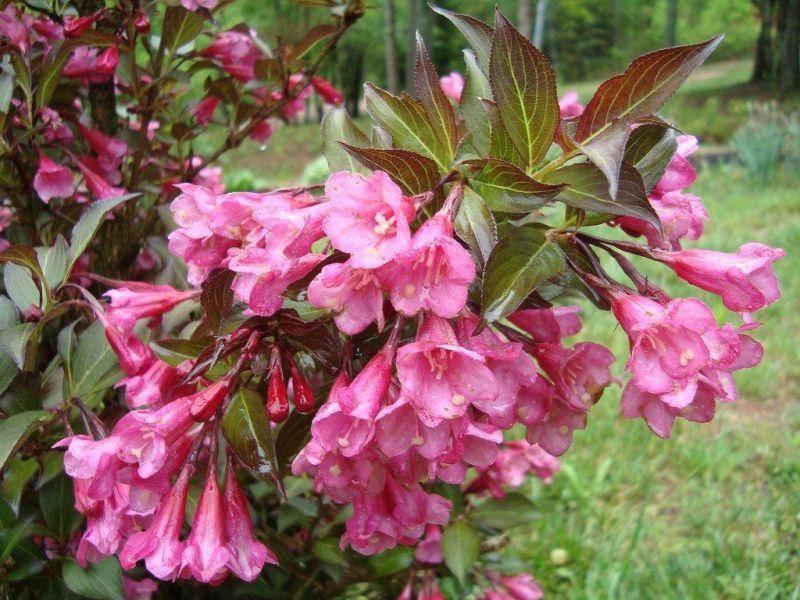 Вейгела цветущая: описание вида, сорта, посадка и уход