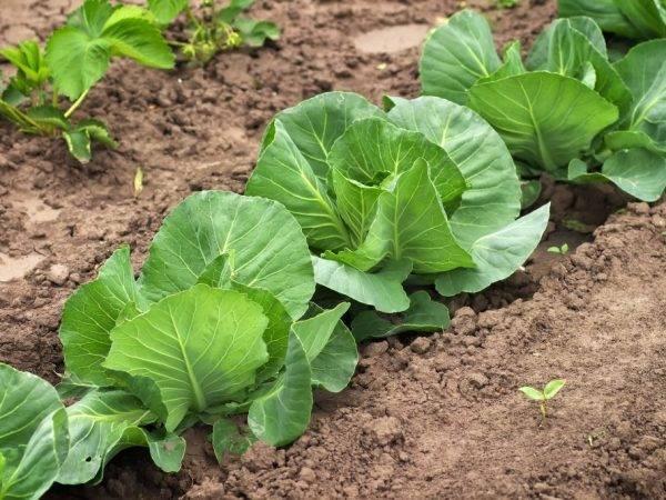 Кольраби - выращивание и уход в открытом грунте, сроки посева и уборки