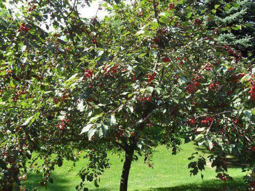 Особенности ухода и выращивания черешни радица