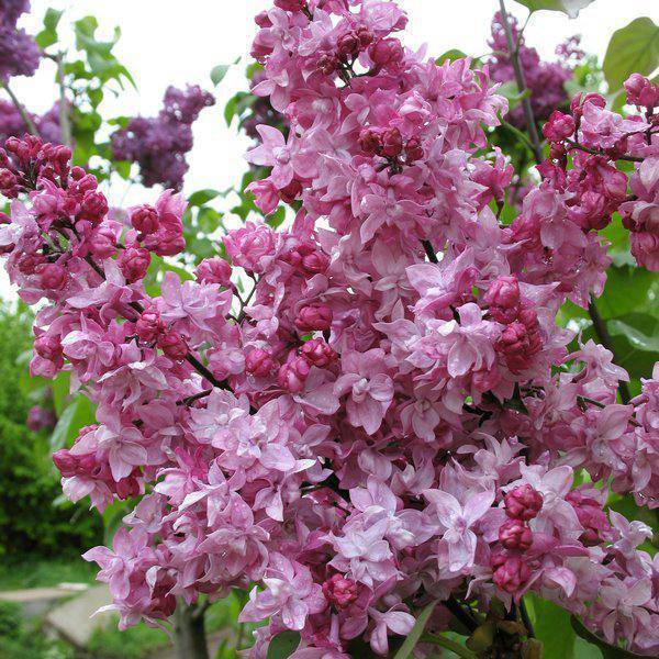 Сорта сирени — описание обыкновенненного цветка, видов катерина хавемейер, утро россии + фото лучших разновидностей