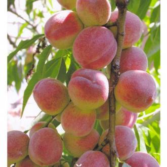 Сорт персика киевский ранний: посадка и уход