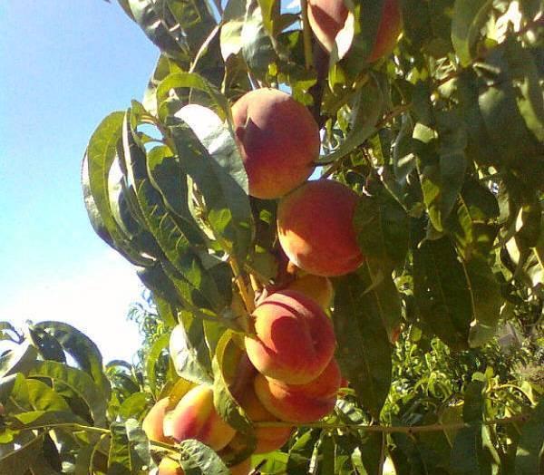 Правила выращивания и ухода за колоновидными персиками