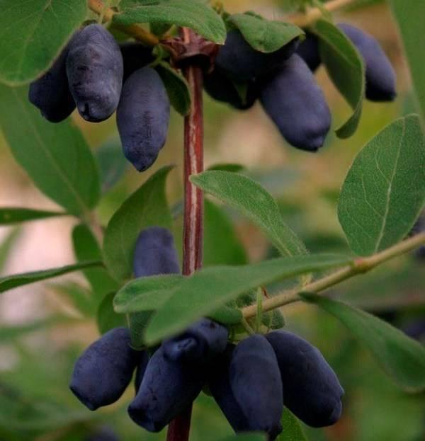 Жимолость - полезные свойства и противопоказания чудо ягоды