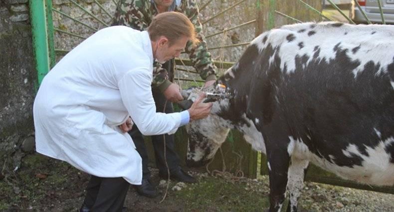 Туберкулез у коров: причины появления заболевания, опасные последствия, правила профилактики