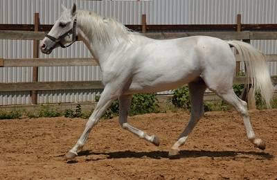 Терская лошадь — википедия