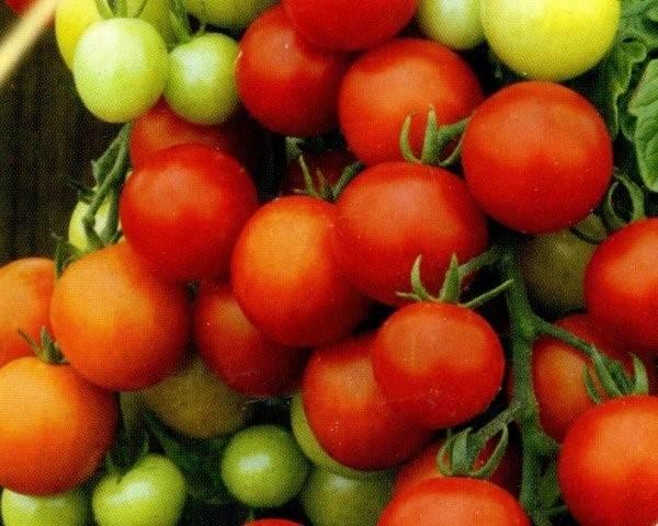 Ранний сорт помидоров леопольд - находка для фермеров и дачников