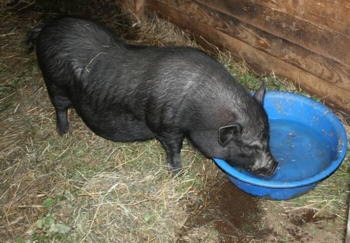 Опорос свиноматки в домашних условиях