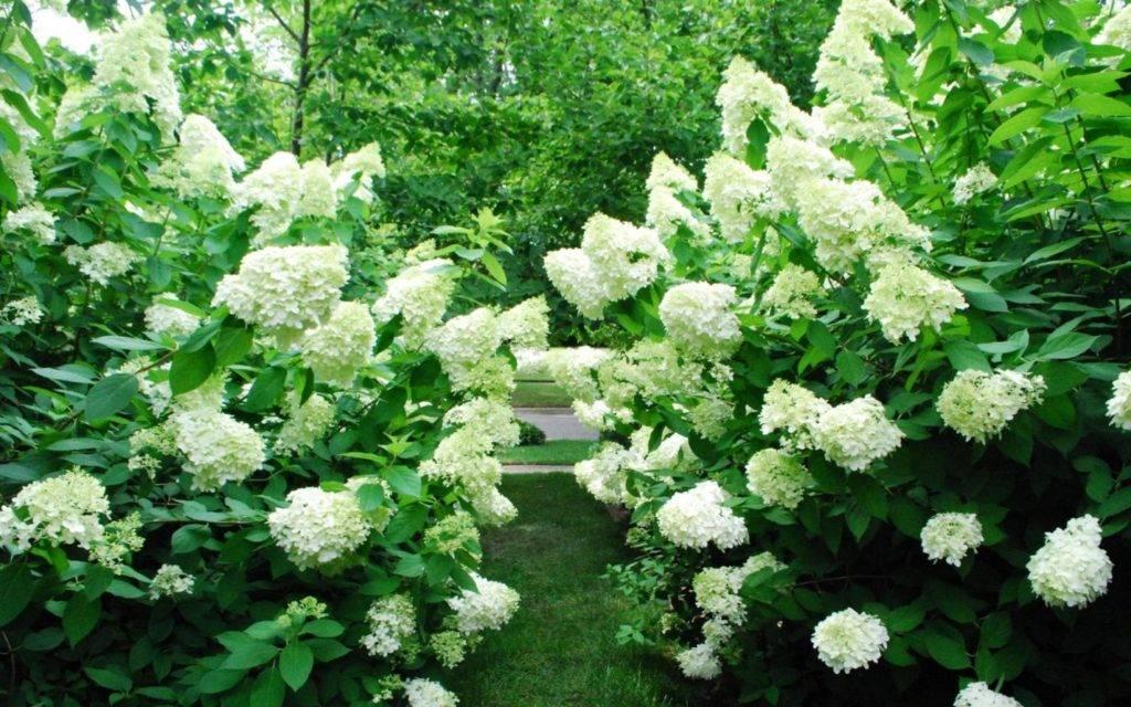 Садовая гортензия: подкормка летом, осенью, удобрения для изменения цвета цветов