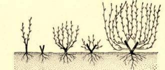 Обрезка барбариса: как подстригать летом? стрижка осенью и весной для начинающих. формирование куста