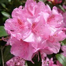 Рододендрон листопадный: описание азалии и ее сортов (хоумбуш, клондайк и другие), их фото, а также посадка и уход за растением