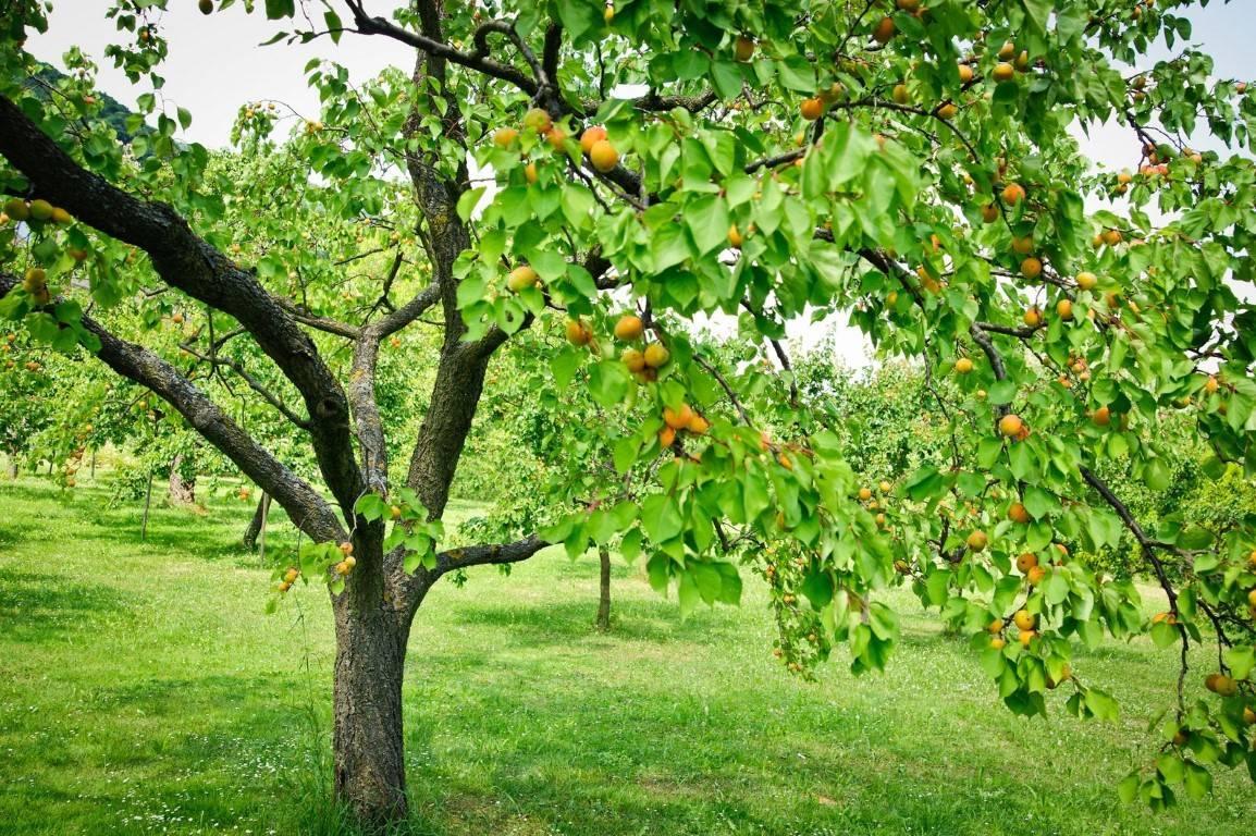 Как сажать абрикос: способы посадки и все важные нюансы