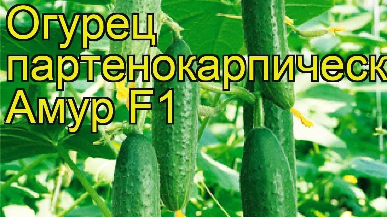Изысканный сорт с питательными и лечебными плодами — огурец шик f1: отзывы и описание