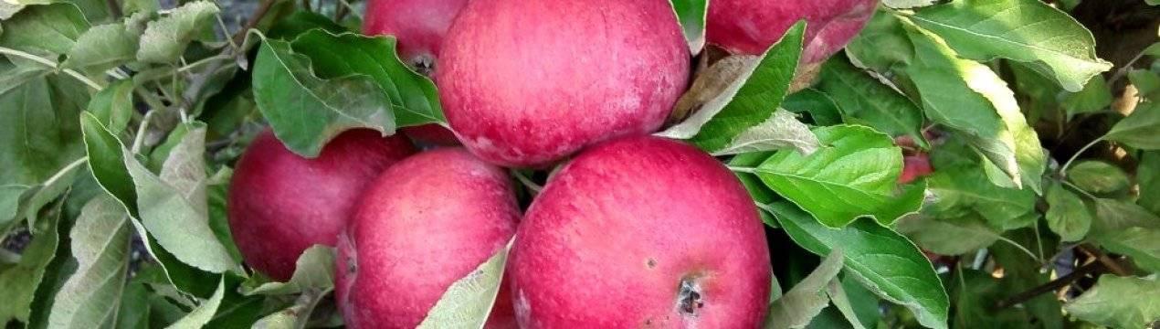 Яблоня кортланд — описание сорта, фото, отзывы