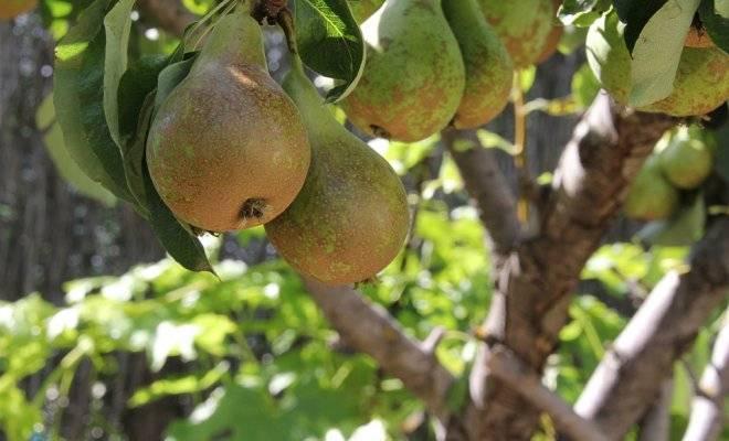Как вырастить грушу из ветки