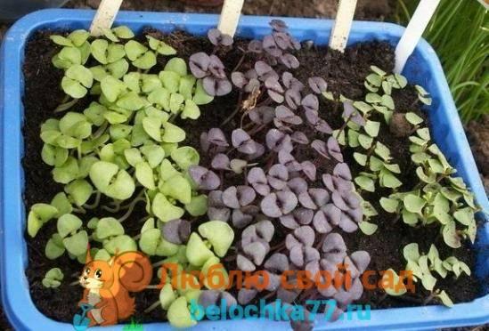 Базилик: выращивание из семян, особенности посадки и уход