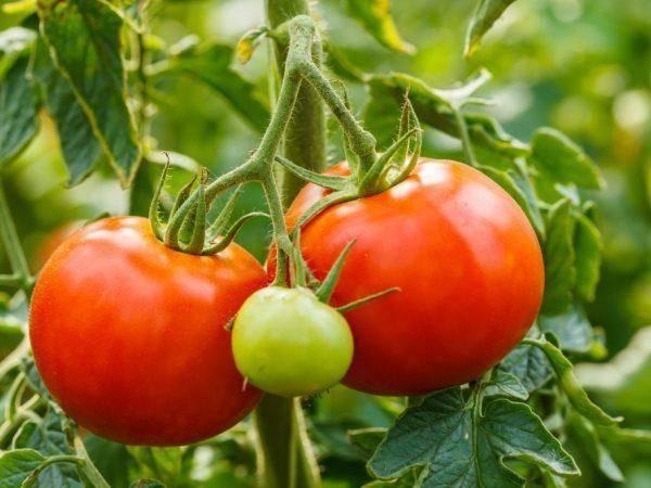 Сорт томата денежный мешок