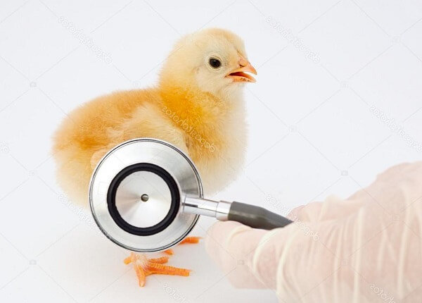 Болезни кур несушек: лечение в домашних условиях