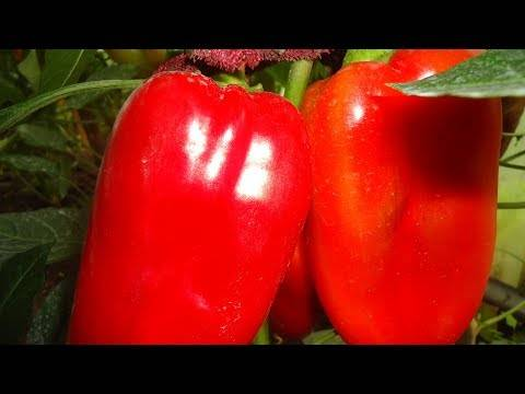 Описание сорта перца атлант — как поднять урожайность
