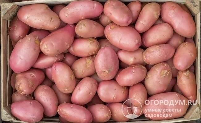 О картофеле красавчик: описание семенного сорта, характеристики, агротехника