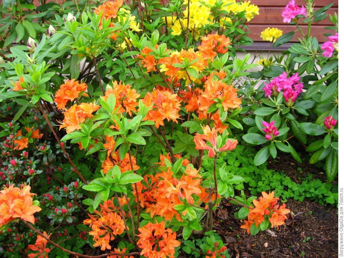 Азалия мандарин лайтс: описание, фото, как ухаживать за цветком