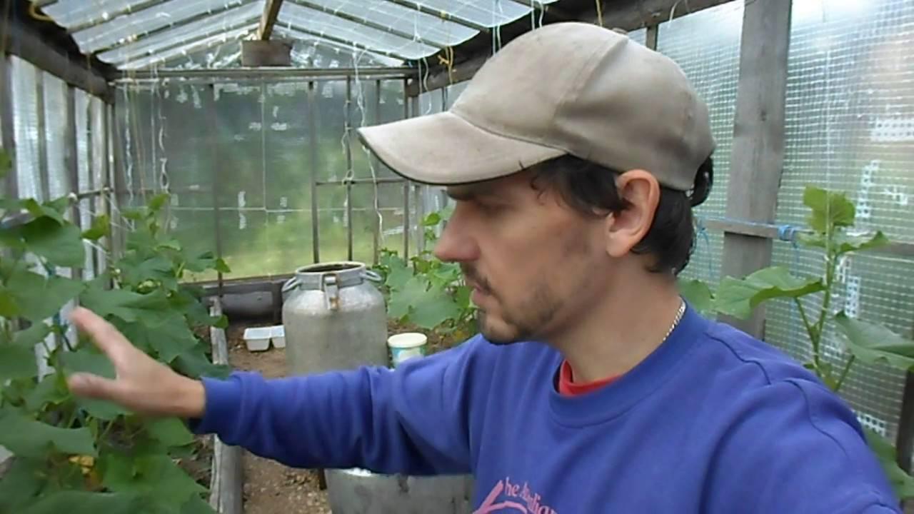 Какие сорта и гибриды огурцов посадить в теплице