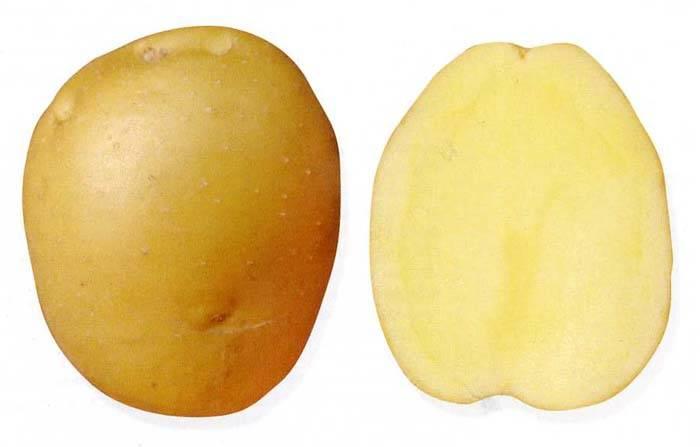 Картофель лидер: описание сорта, фото, отзывы, посадка, выращивание, уход