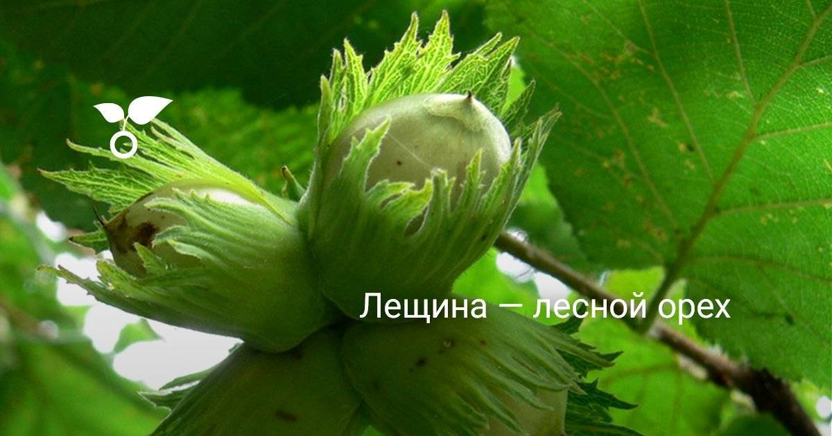 Орешник краснолистный
