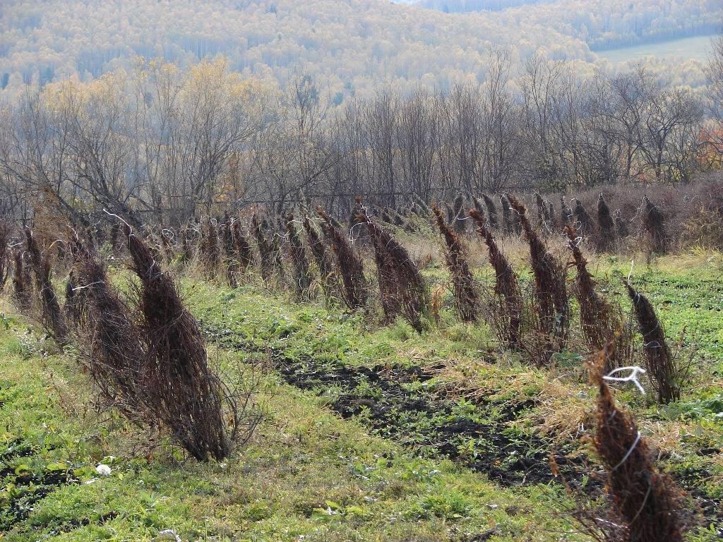 Чем подкормить жимолость осенью, основной уход за культурой