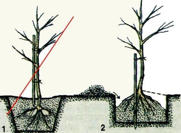 Правила и сроки посадки колоновидных яблонь осенью