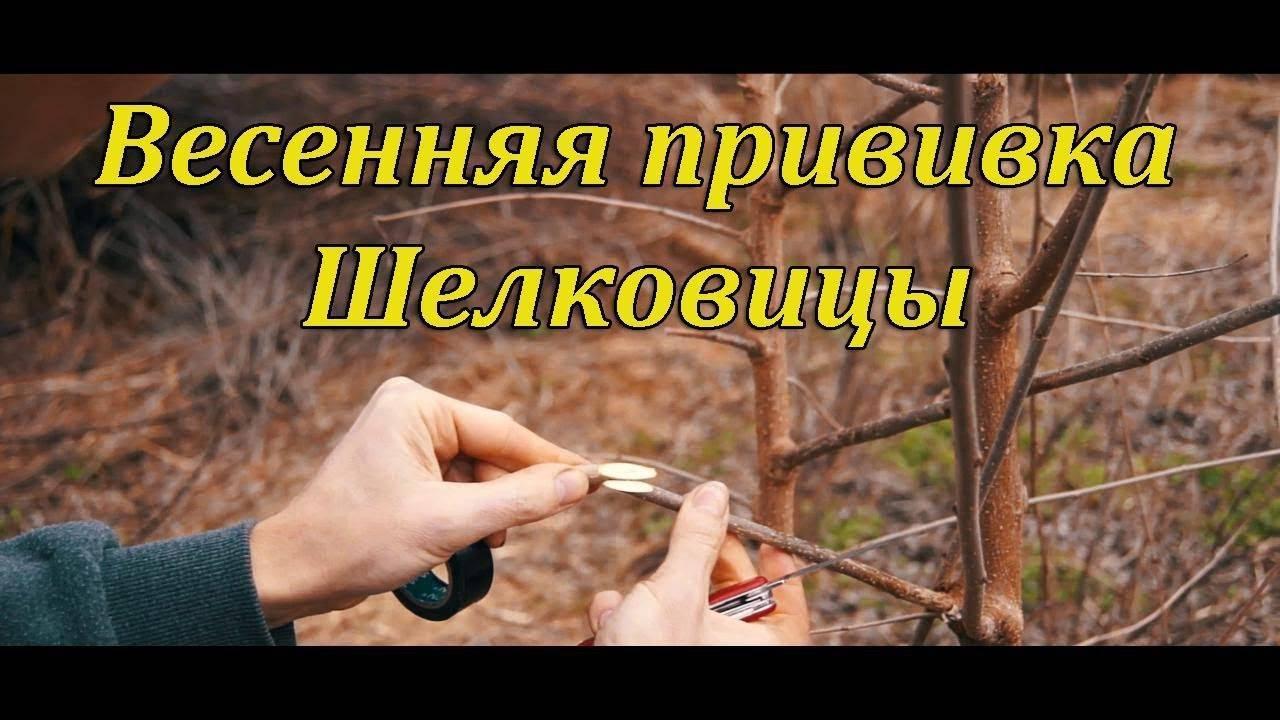 Как размножить шелковицу черенками весной, прививка шелковицы летом