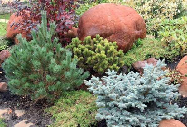 Декоративные ели: описание, разновидности и выращивание