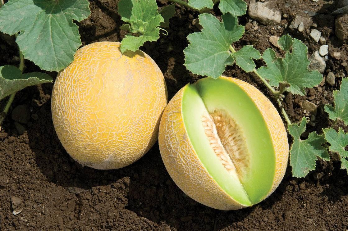 Пошаговая инструкция, как выбрать дыню правильно: полезные советы и лайфхаки по поиску самого вкусного фрукта