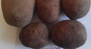 Картофель вектор — описание сорта, фото, отзывы, посадка и уход