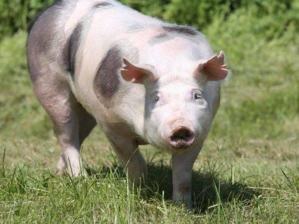 Пьетрен — порода свиней: характеристика, отзывы