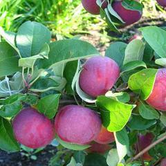 Сорт яблок богатырь: описание, плюсы и минусы, отзывы садоводов