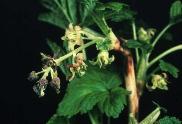 Махровость (реверсия) смородины