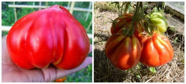 Сорта помидоры томат  акварель, аврора.