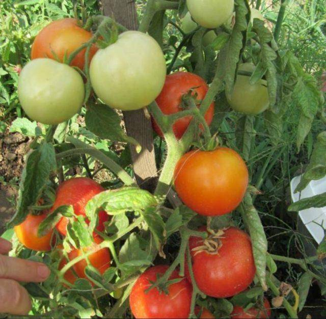 Раннеспелый гибрид снискавший огромный успех — томат орфей f1: описание сорта и его характеристики