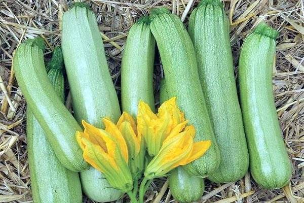 Описание, характеристика и выращивание кабачка кавили